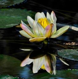 Nymphaea Lotus var. Thermalis (nufărul termal)