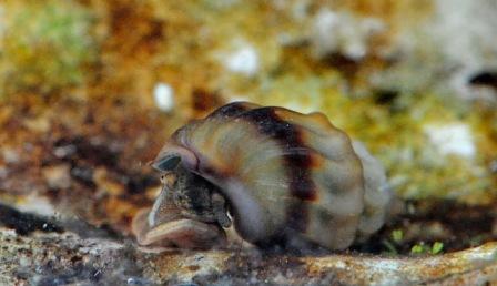 Melanopsis Parreyssi (melcul termal)